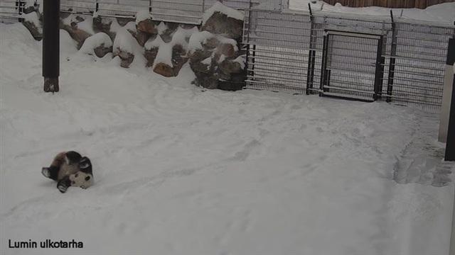 Pandat, Lumi-panda piehtaroi lumessa