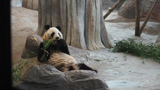 Ähtärin pandat, Ähtärin suloinen naaraspanda sai ihanan ruusuyllätyksen naistenpäivänä