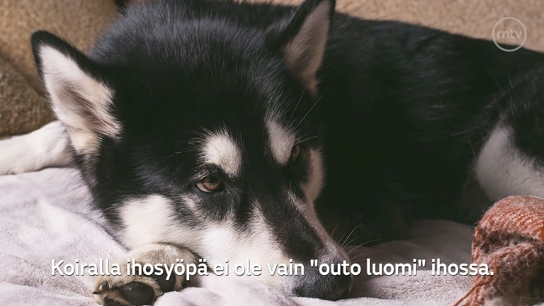 Koiran Ihosyöpä