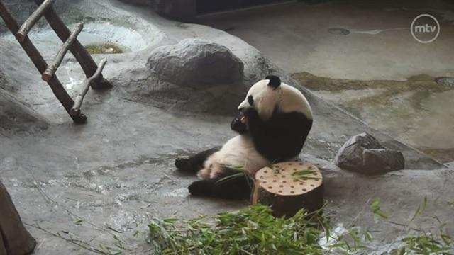 Pandat, Ähtärin suloiset pandat juhlistavat kiinalaista juhlapäivää erikoisleivonnaisilla – katso herkullinen video!