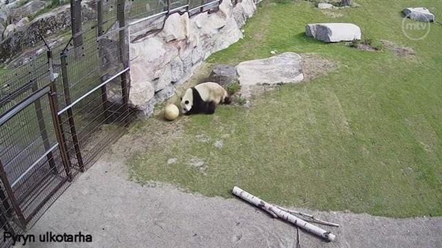 Pandat, Pyry-panda valmistautuu tuleviin jalkapallon MM-kisoihin