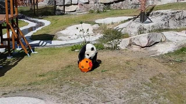 Pandat, Ähtärin pandoille uusi lelu – karvapalleroilla riittää ihmeteltävää