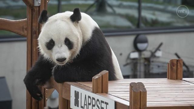 Pandat, MTV kokosi upeimmat kuvat hellyttävästä pandakaksikosta videolle
